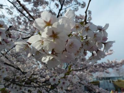 東工大桜②4.7