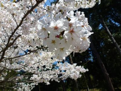 円覚寺桜①4.9