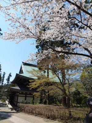 円覚寺桜③4.9