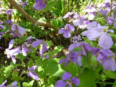 明月院花②4.9ムラサキハナナ