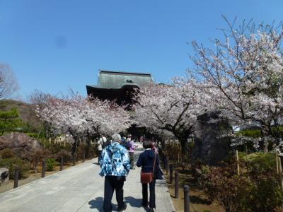 建長寺桜①4.9