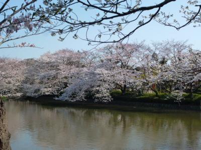 鶴岡八幡桜①4.9