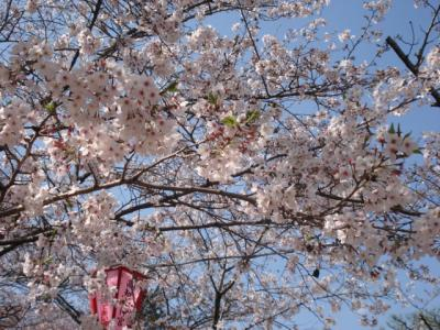 高知城の桜!