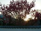 朝日に映る桃の花
