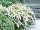 本堂前のアセビの花