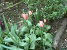 チュウリップの花