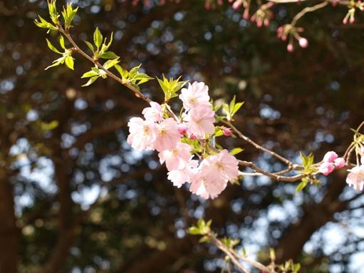お花見2011 (8)