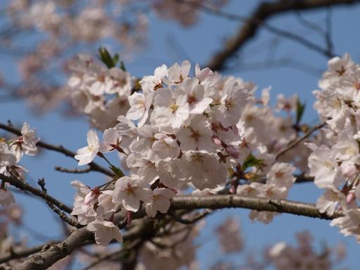 お花見2011 (2)