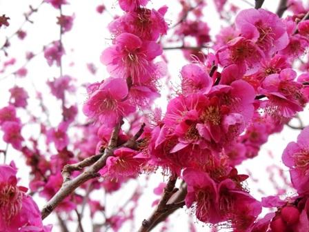 梅の花@青葉の森2
