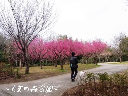梅の花@青葉の森1