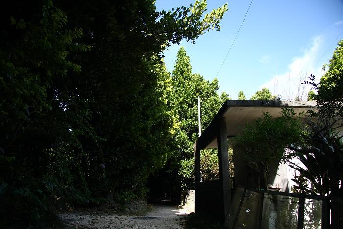 備瀬のフクギ並木、3