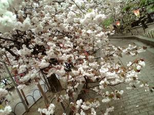 造幣局 桜の通り抜け(その6)