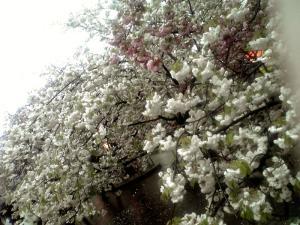 造幣局 桜の通り抜け(その7)