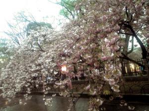 造幣局 桜の通り抜け(その8)