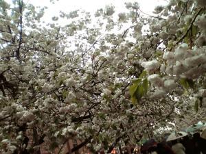 造幣局 桜の通り抜け(その10)