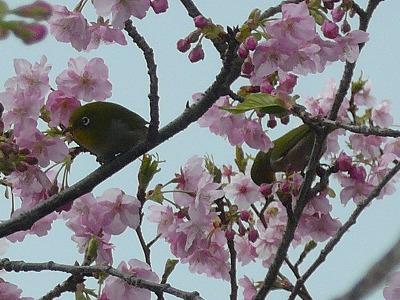 河津桜とメジロくんたち