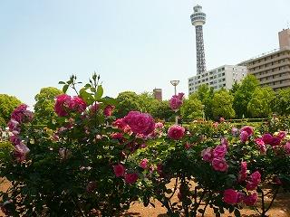 ピンクのバラとマリンタワー