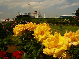 黄色いバラと氷川丸