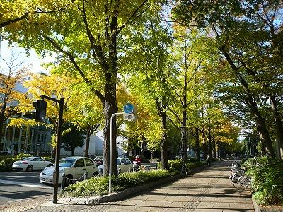 山下公園前の紅葉した銀杏並木
