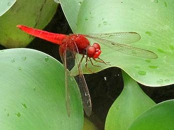 識名園 池の水草にいた ベニトンボ