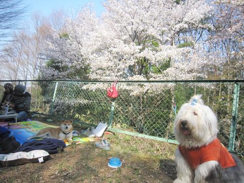 桜を愛でる二人