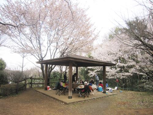 東屋の上の桜