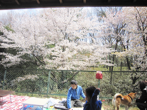 荒幡神社の桜