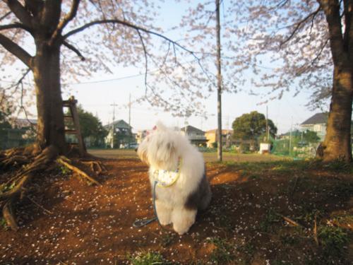 散り始めた桜