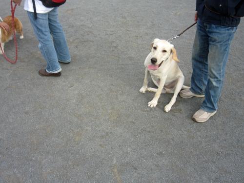盲導犬候補生ニコラス