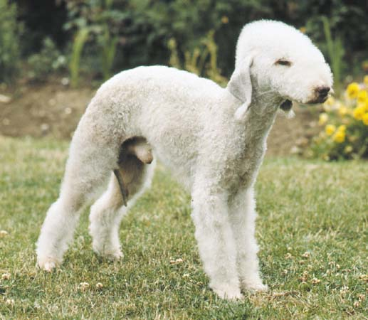 bedlington-terrier2.jpg