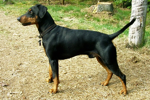 s-German_Pinscher.jpg