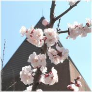 130316G 053桜