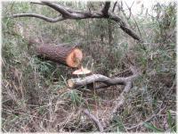130323G 088倒木を切る