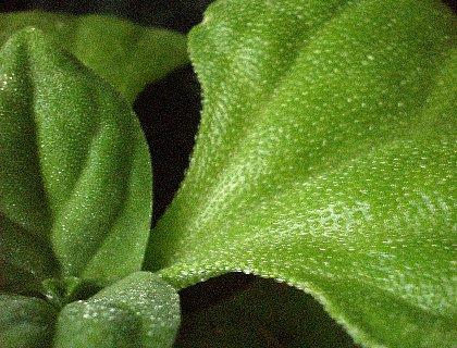 アイスプラント苗 葉