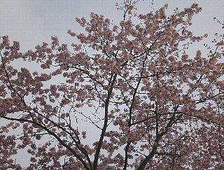 桜と。 羽ばたいているモノも