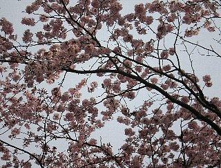 桜と。 真ん中辺りで うかがっている?
