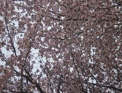 夕日を浴びている桜
