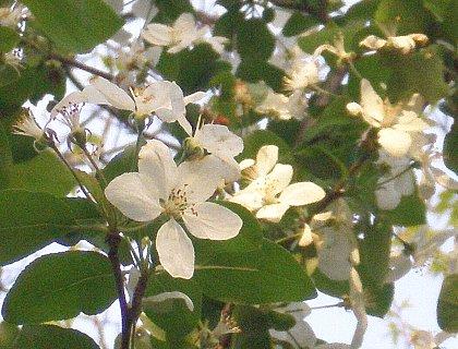 姫リンゴ花