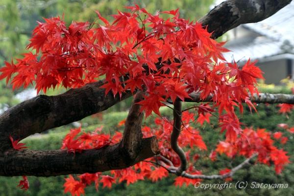 西林寺紅葉1
