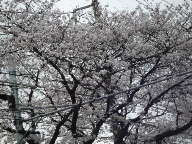 20130324-01-桜