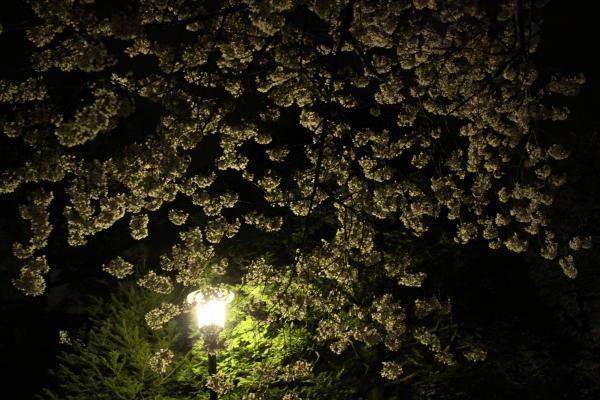 2010.4.9 夜桜