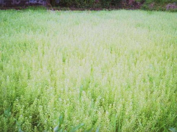 ぺんぺん草畑