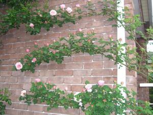 rose1_convert_20110510221112.jpg