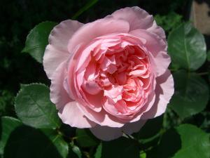 rose2_convert_20110517224304.jpg