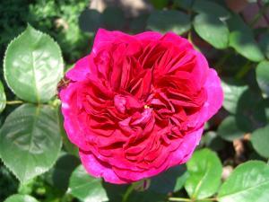 rose3_convert_20110517224320.jpg