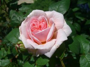 rose4_convert_20110517224337.jpg