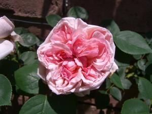 rose5_convert_20110517224357.jpg