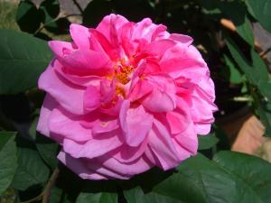 rose_convert_20110517224245.jpg
