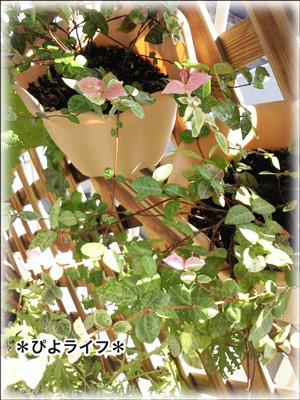 hatuyukikazura0918.jpg