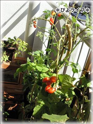 tomato0918.jpg